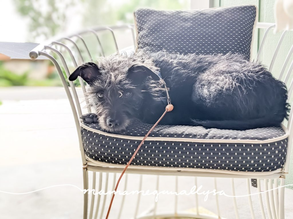 a black terrier mix laying in a chair making eye contact with the camera